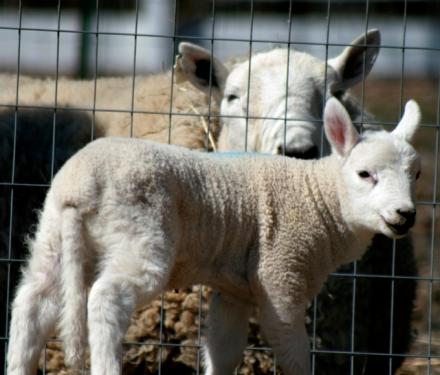 sheep-p2.jpg